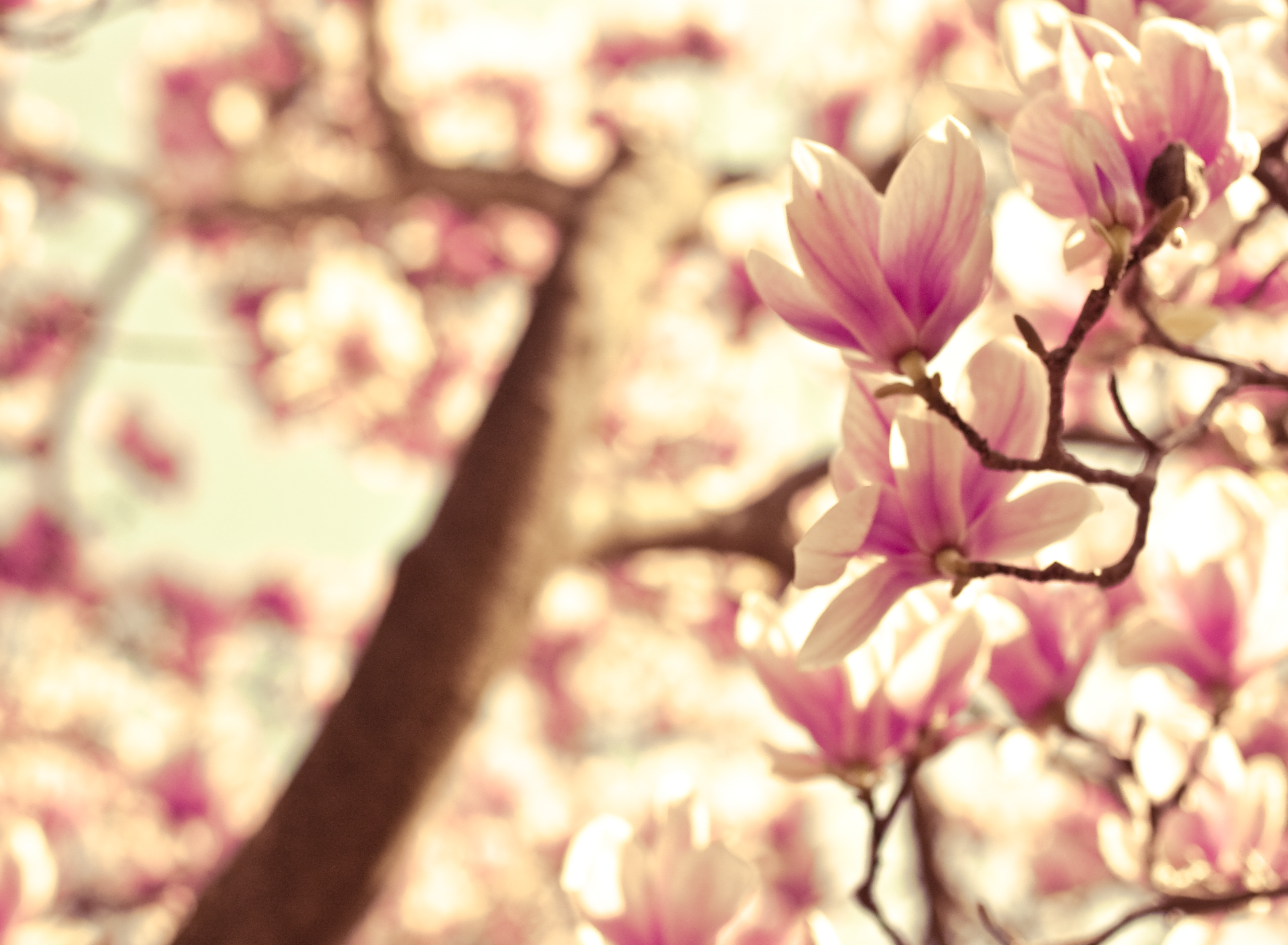 Under The Pink Magnolia Tree A Matter Of How You See It Photography